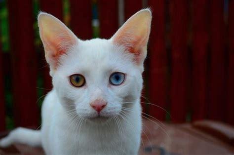 colore degli occhi diversi perch 233 alcuni gatti hanno gli occhi di colori diversi
