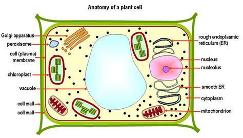 2d diagram of plant cell knowledge sea plant cell figures