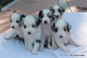 Toy australian shepherd puppies for sale and dogs for adoption find