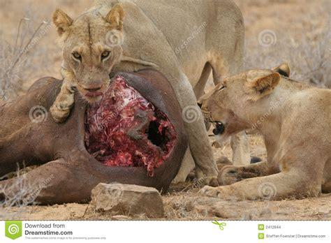 imagenes de leones y gatos leones africanos en el carca del b 250 falo foto de archivo