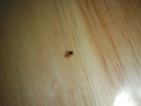 bugs that look like bed bugs pictures bed bug look like 28 images what do bed bugs look like