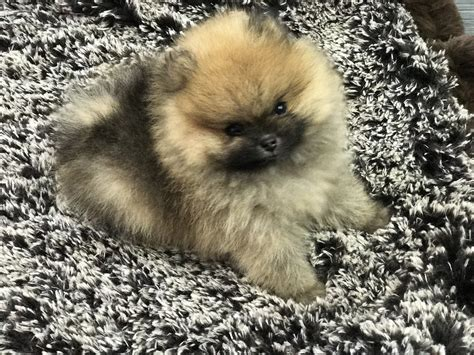 pomeranian puppies that look like teddy bears puppies archive tiny paws