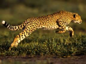 How Fast Does A Jaguar Run Cheetah Leaping Through The Air
