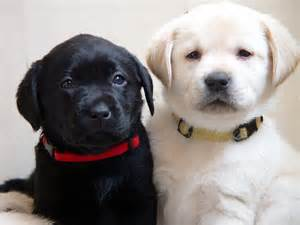 Image result for site:photos.barefootlabradors.com
