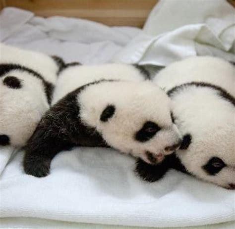 135738 Hem Panda Salur 1 china tiere pandas panda drillinge in chinesischem zoo 246 ffnen ihre augen welt