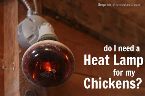 heat l for chickens in winter do my chickens need a heat l the prairie homestead