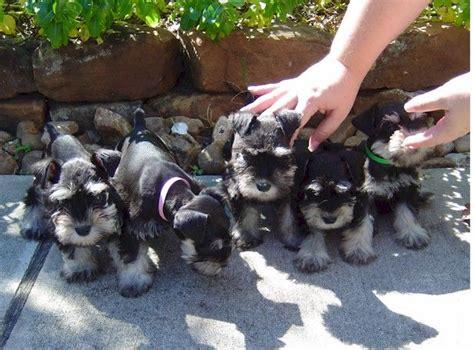 schnauzer puppies houston 17 best images about schnauzers on standard schnauzer schnauzer puppy and