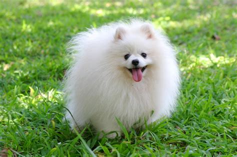 White Teacup Pomeranian Puppies Breeds Picture