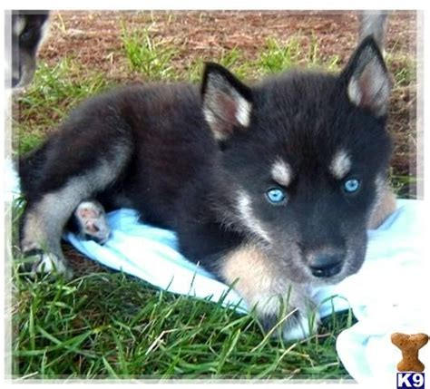 wolf puppies for sale wolf puppies for sale huskie puppies