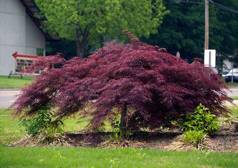 buy a maple tree buy crimson japanese maple free shipping 99 99