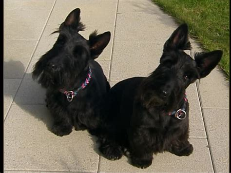 scottish terrier puppies for sale near me scottish terrier photo