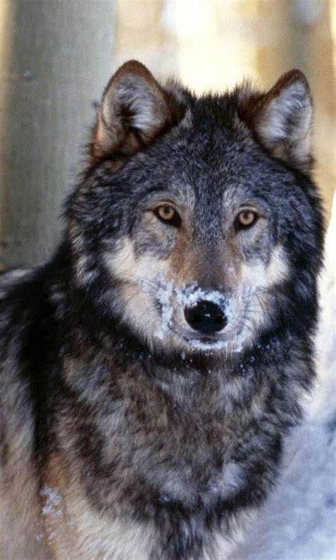 imagenes de lobos en 4k fondos animados de lobos para android fondos de pantalla