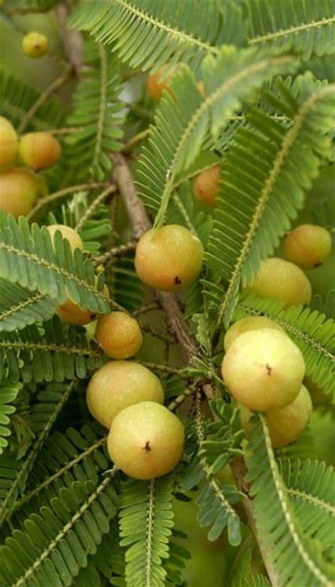 growing amla tree   grow indian gooseberry