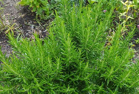 Rosmarin Garten Pflanzen by Rosmarin Verwendung Wirkung Und Anbau