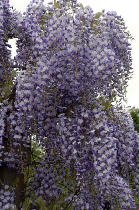 blauwe regen weinig bloemen voeding blauwe regen potplanten buiten schaduw