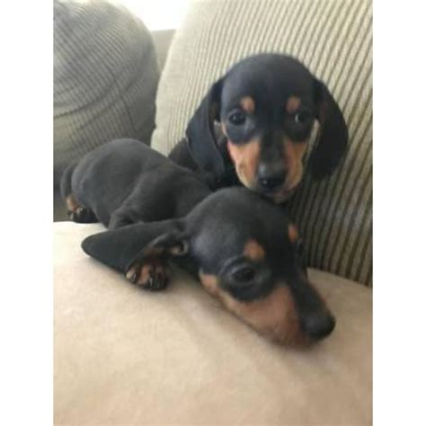 dachshund puppies las vegas 2 males black and dachshund puppies for sale in las