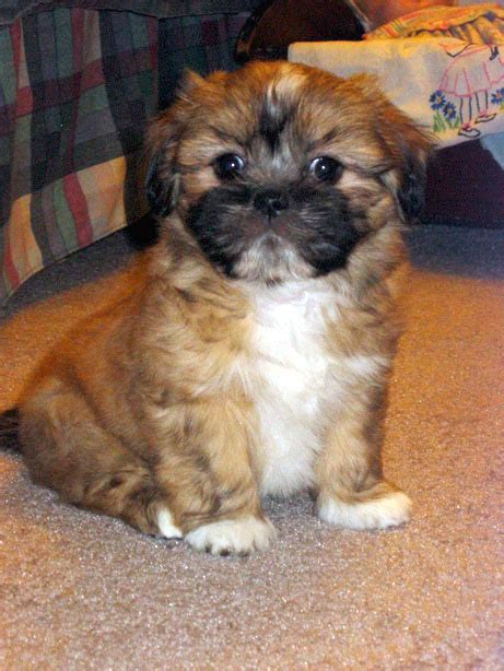 lhasa apso puppy file lhasa apso puppy mochi jpg