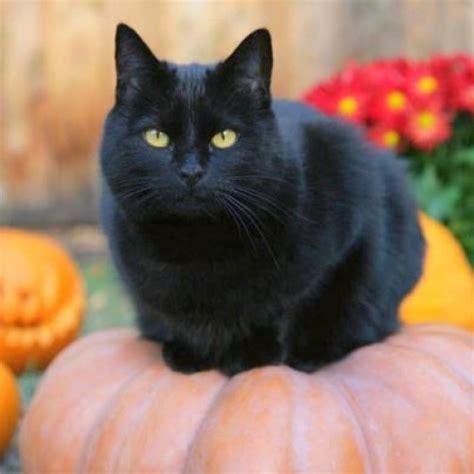 imágenes gato negro halloween gatos tiernos