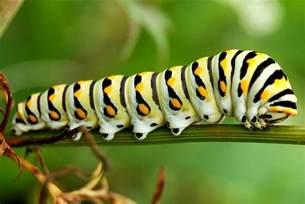 caterpillar info fact and photos the wildlife
