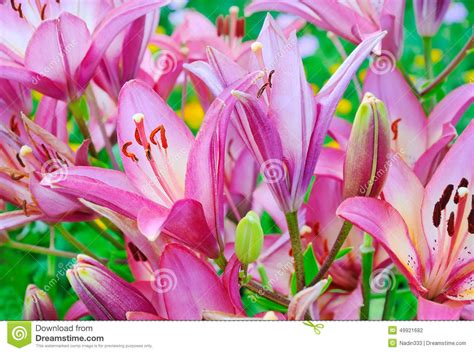 giglio rosa fiore fiore rosa giglio lilium fotografia stock immagine