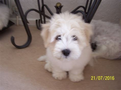 coton de tulear puppies for sale in coton de tulear puppies for sale by royalcoton doncaster south pets4homes