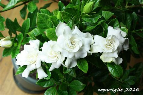 grow gardenias  containers