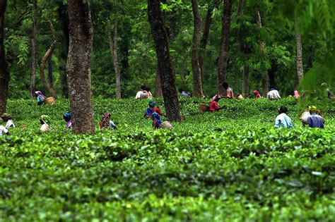 tea garden 6 the east india travel