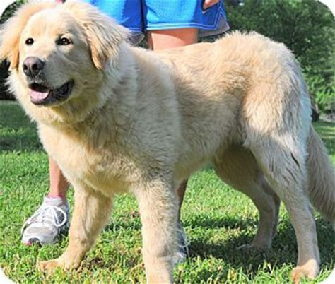newfoundland golden retriever newfoundland golden retriever mix