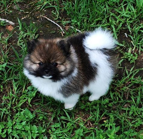 pomeranian puppies for sale in ontario show ad horses for sale canada ontario 2 pomeranian puppies for sale canada