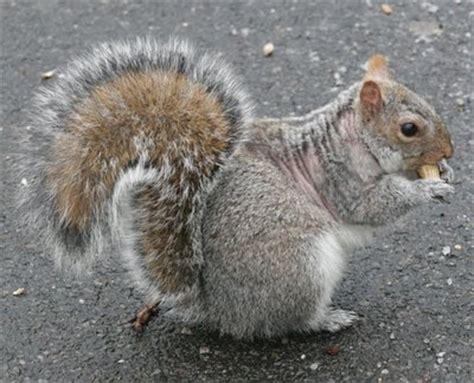 hair loss in squirrels squirrel mange