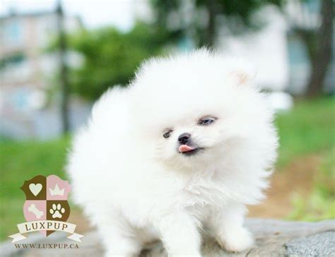 pomeranian watermelon 160 best images about adorable sweet t cup puppies for sale on