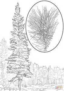 western white pine pinus monticola coloring page free