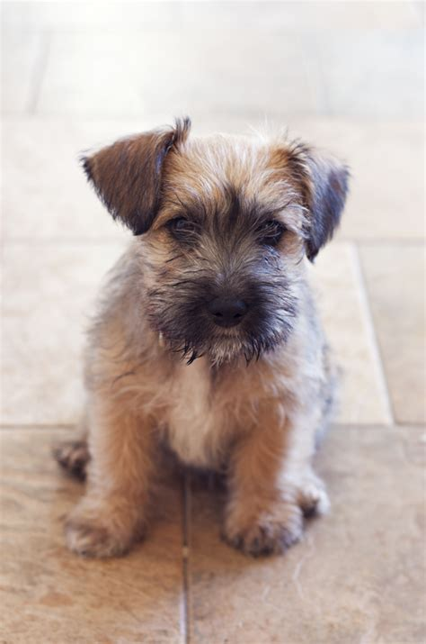 yorkie mixed with schnauzer yorkie schnauzer mix puppies for sale breeds picture