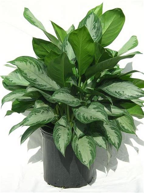 Aglaonema Silver 14 aglaonema silver bay 35 00 z plants the best florist quality plant material grown in
