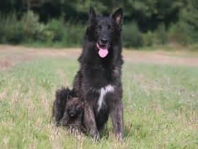 le de berger berger hollandais chien et chiot shepherd