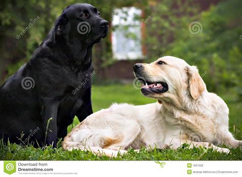 imagenes a blanco y negro de perros perro negro y perro blanco en hierba verde fotograf 237 a de