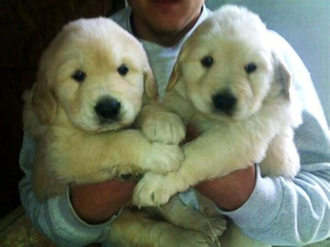 golden retriever puppies columbus ohio golden retriever puppy ohio dogs our friends photo