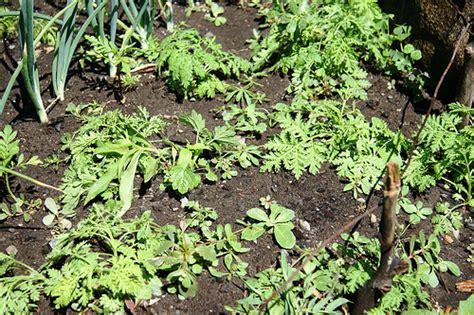 Weeds In Vegetable Garden Ways To Weeds In Vegetable Garden Flowers Magazine