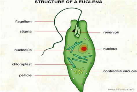 euglena diagram diagram of euglena 28 images file euglena anatomy