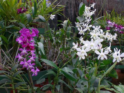imagenes de jardines con orquideas fotos de orqu 237 dea en jard 237 n de orqu 237 deas kandy 419134