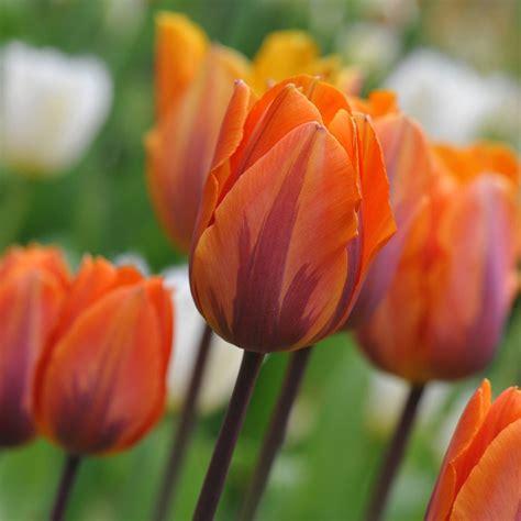 tulip bulbs item 1616 prinses 28 images little princess botanical tulip tulip bulbs item