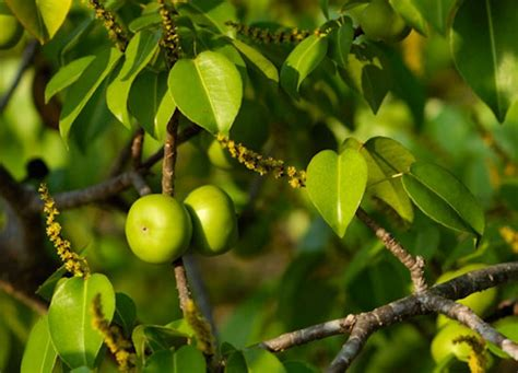 fruits of a poisonous tree the manchineel tree is the most poisonous tree in the