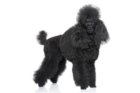 dogs with curly hair which coat type is best for you choosing the right for you dogs guide