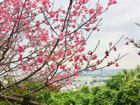 sakura cherry blossom  nago castle park life