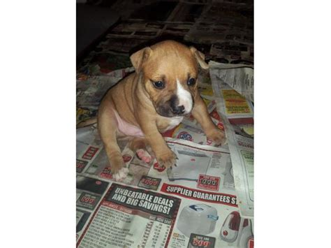 puppies for sale in western ma staffie puppies for sale northern suburbs puppies for sale