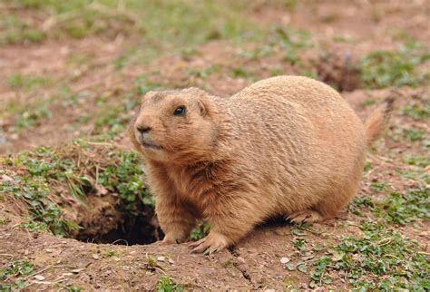 prairie dogs as pets fichier prairie in paignton zoo jpg wikip 233 dia