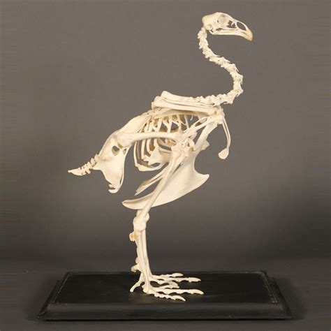 Hybrid Kitchen Female Chicken Skeleton Vintage Taxidermy Ivory