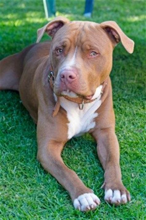 pit best types of pitbulls do you the difference