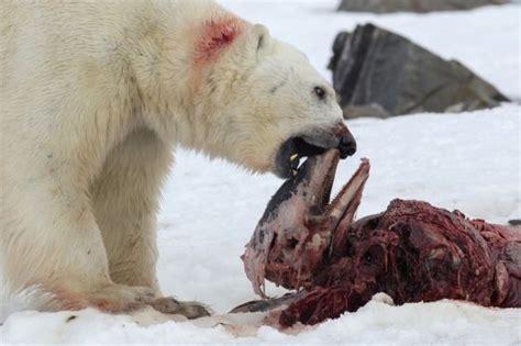 imagenes de osos navideños cambio clim 225 tico observado por primera vez un oso polar