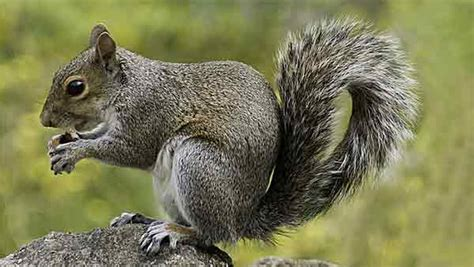 how to get rid of squirrels in the backyard how to get rid of squirrels professional pest control